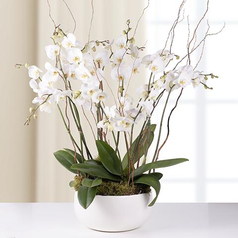 Орхидея 1 брой в съд